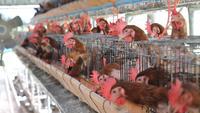 Pollo enjaulado en una granja