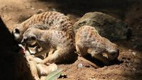 Meerkat's Family in a Burrow