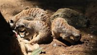 La famille de suricates dans un terrier