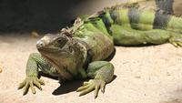 Grand iguane vert