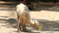 Alpaca eten blad