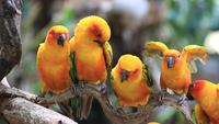 Sun Conure Parrots Resting on a Branch