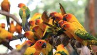 Pandemonium of Sun Conure Parrots
