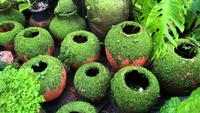 Beautiful tropical garden moss plant covering clay pots