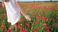 Main féminine caressant les fleurs de coquelicots rouges.