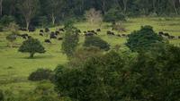Den vilda Gauren som betar gräset i den tropiska skogen