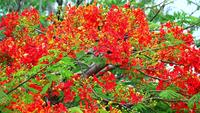 Royal Poinciana Flowers Moving with The Wind in The Rainy Season