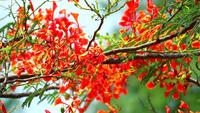 Royal Poinciana Blumen Zweig