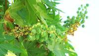 Planta de aceite de ricino en el jardín