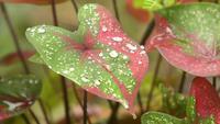 Gotas de água em uma folha de Caladium