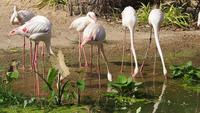 A Group of Flamingos Drinking Water