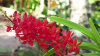 Orchidées rouge vif dans le jardin