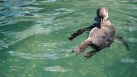 Pinguins africanos na água