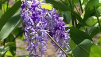 Fleurs violettes suspendues à une branche