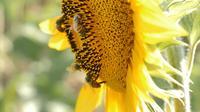 Bijen die op een Zonnebloem landen