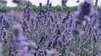 Champ de panoramique de lavande avec des abeilles