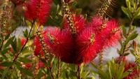 Callistemon Bottle Brush And Bees