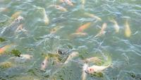 Viele Fische füttern im grün-blauen Fluss
