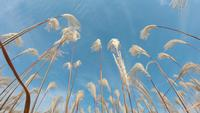 Beau champ d'herbe en saison d'automne à Séoul, Corée du Sud.