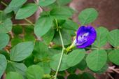 Fleur de pois papillon bleu