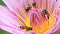 Bijen op een lotusbloem