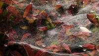 Spindelnät på blad av en buske