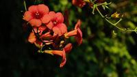 Fleurs de vigne orange trompette