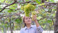 Den asiatiska trädgårdsmästaren flickan kontrollerar kvaliteten på druvor i vingården