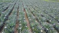 Vista aérea de um campo de abacaxi
