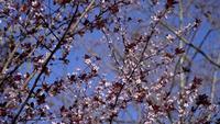 Roze bloemen van een boom en een blauwe hemel