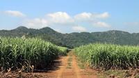 Estrada no meio de um campo de cana-de-açúcar