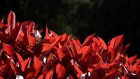 Folhas vermelhas de um arbusto em câmera lenta