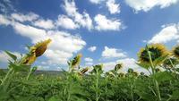 Sonnenblumen, die mit der Brise schwanken