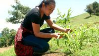 Agricultor inspecionar folhas verdes da planta de milho