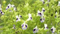 As flores Torenia, Bluewings ou Wishbone estão balançando com o vento