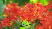 Sorrowless Bouquet vol bloei in de tuin