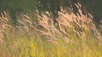 Brown Grass Flowers Swinging with The Wind in The Field