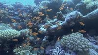 School of Anthias Fische schwimmen unter dem Roten Meer