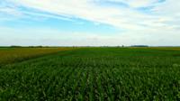 Rangées de tiges de maïs