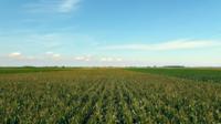 Rangées d'antenne de maïs