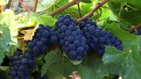 Plump Ripe Grapes On The Vine