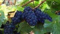 Raisins mûrs dodus sur la vigne