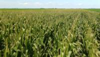 Voler vite au-dessus de la plantation de maïs