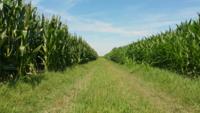 Volando entre la plantación de maíz