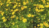 Marguerites jaunes dans un jardin
