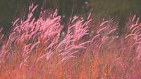 Red grass flowers and seeds