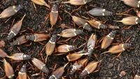Gros plan de la ferme de cricket noir