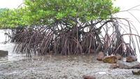 Mangrove am Strand