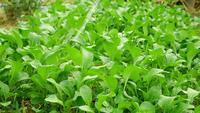 Regar una plantación de hortalizas