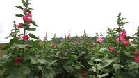 Roze bloemen veld